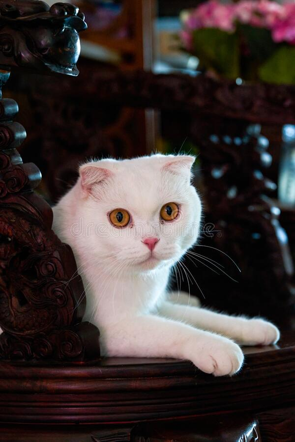 Close-up of a cute pure white British shorthair cat royalty free stock images