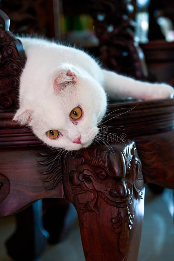 Close-up of a cute pure white British shorthair cat royalty free stock photo