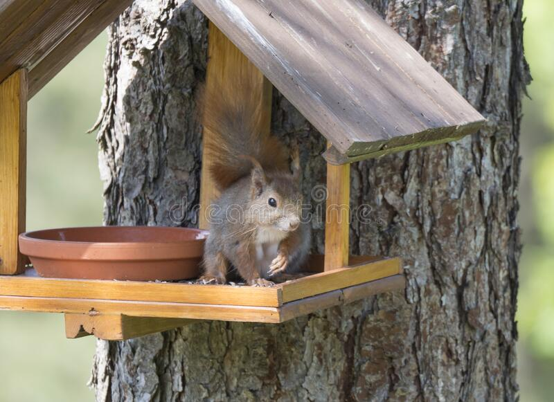 Close up cute Red squirrel, Sciurus vulgaris sitting in the bird feeder table, tail up with sunflower seed in paws royalty free stock photography