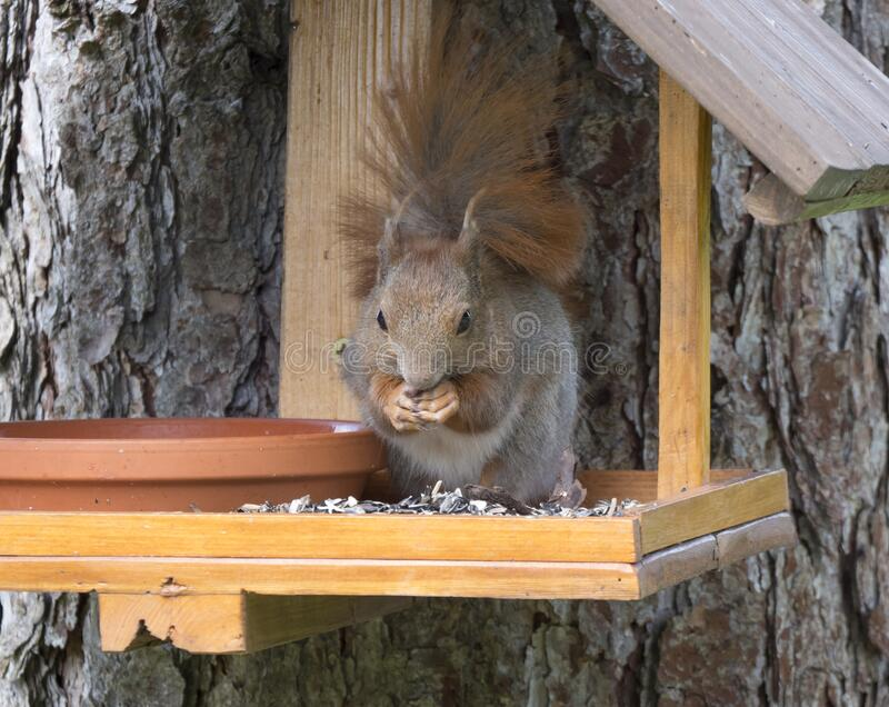 Close up cute Red squirrel, Sciurus vulgaris sitting in the bird feeder table, tail up with sunflower seed in paws royalty free stock photos