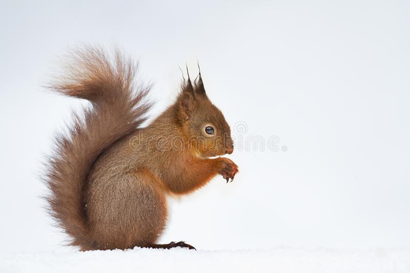 Close up of a cute red squirrel in the snow stock images