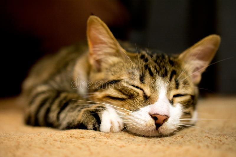 Cute sleeping cat. Close up of cute sleeping cat, deed, selective , blurred background royalty free stock photography