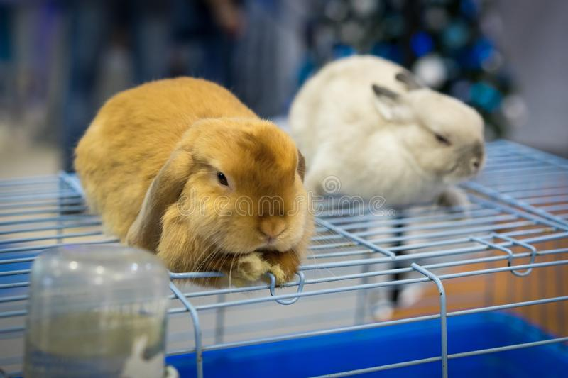 Close up cute two rabbits gray and red at an exhibition of animals sit on a cage stock photo