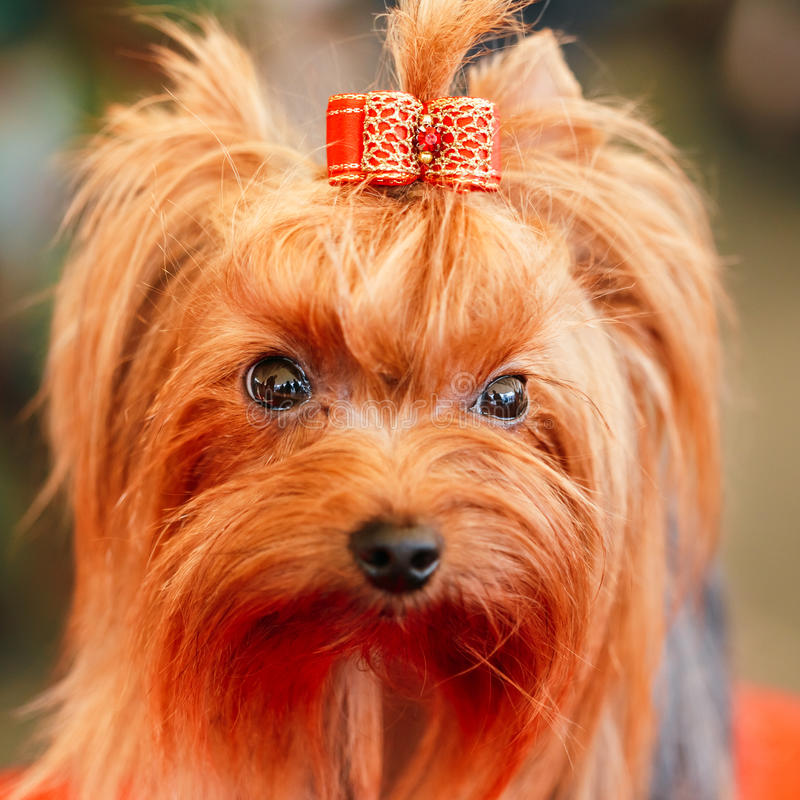 Close Up Cute Yorkshire Terrier Dog. Playing In Show royalty free stock photos
