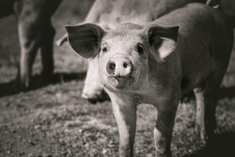 Close up of cute young hungry pig head looking at camera royalty free stock photo