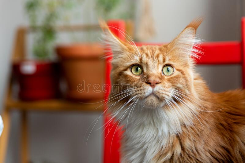 Close up of cute young maine coon domestic cat indoor with red and white long fur indoor inside home living room with natural. Ligh royalty free stock photos
