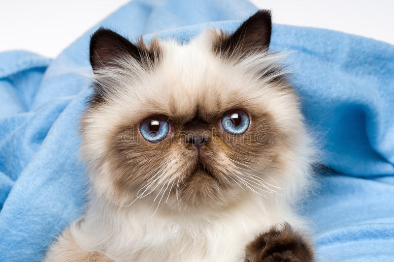 Close up of a cute young persian seal colourpoint kitten. Is lying in front of a blue bedspread background royalty free stock photography