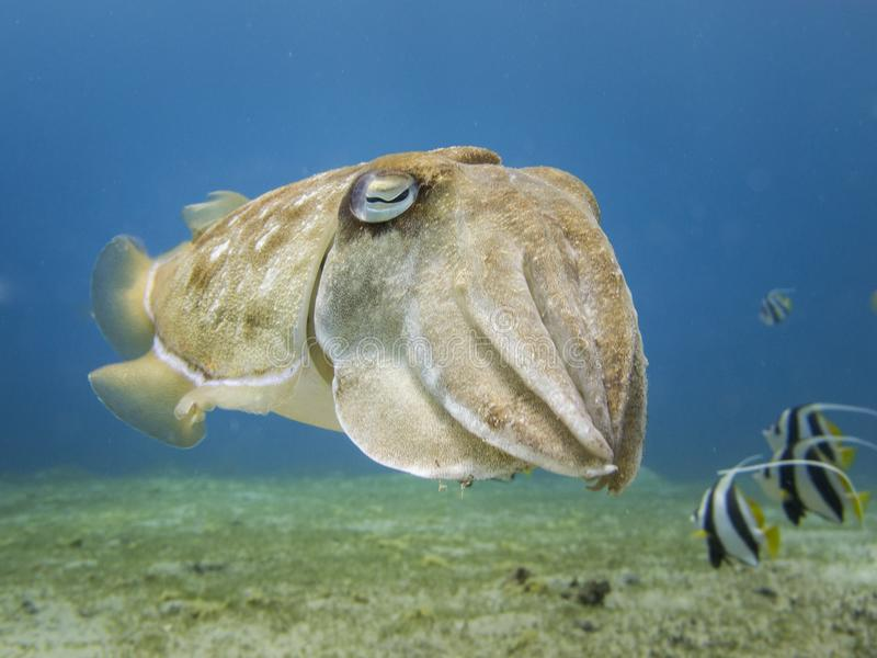 Close up of a cuttlefish swimming over the sea grass with bannerfish in the background in Dahab, Egypt. Close up of a cuttlefish - Underwater at dives site royalty free stock photos