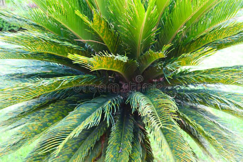 Close up of Cycas revoluta or sago palm tree. Vientiane, Laos stock photo