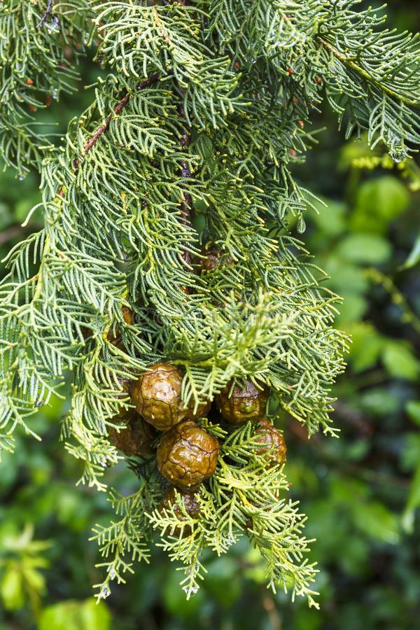 Close up of Cypress cone hanging on a tree stock images