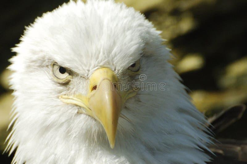 Close up da águia imagem de stock