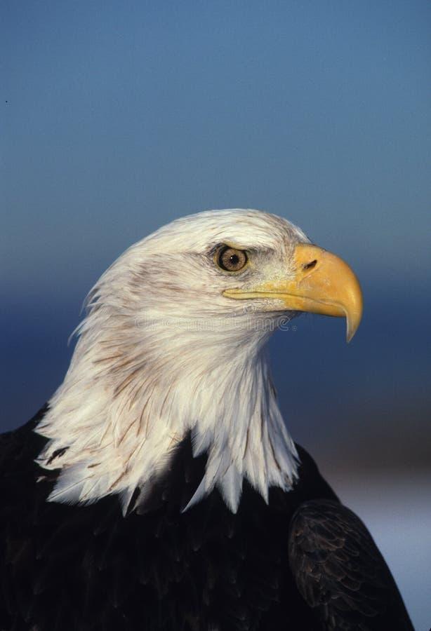 Close up da águia calva fotos de stock