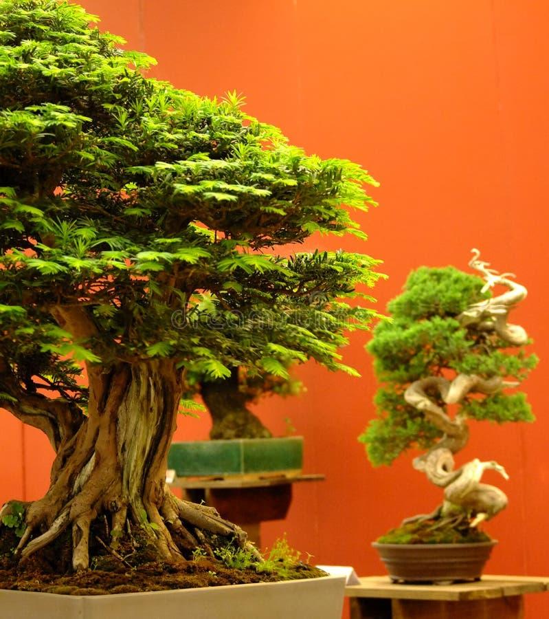 Close-up da árvore dos bonsais com fundo vermelho 2 fotos de stock