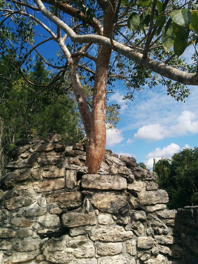 Close up da árvore que cresce na estrutura em ruínas maias de Kohunlich fotos de stock