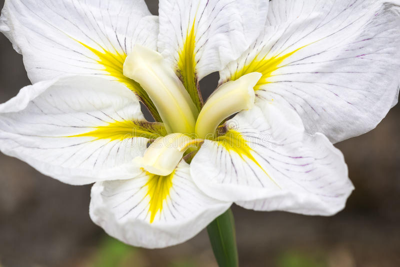 Close up da íris japonesa branca na flor imagem de stock
