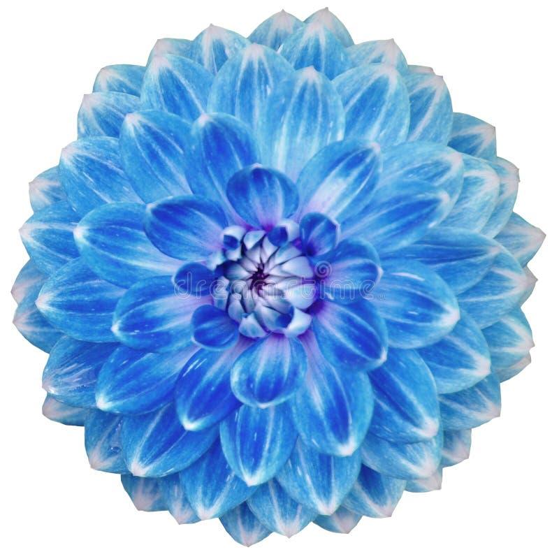 Close-up da única flor azul de florescência da dália isolada no branco fotografia de stock