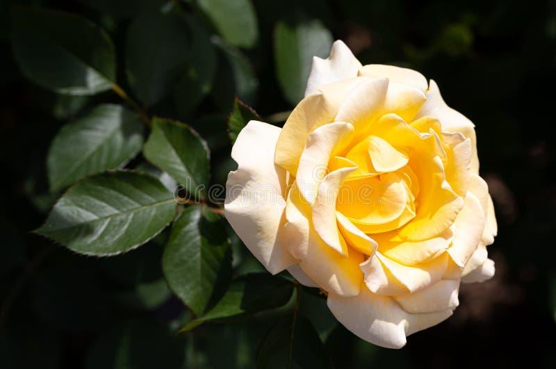 Close-up da única rosa grandiflora híbrida centenária amarela que floresce fora com as folhas verdes no fundo imagens de stock royalty free
