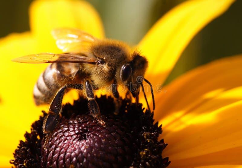Close-Up da abelha imagens de stock royalty free