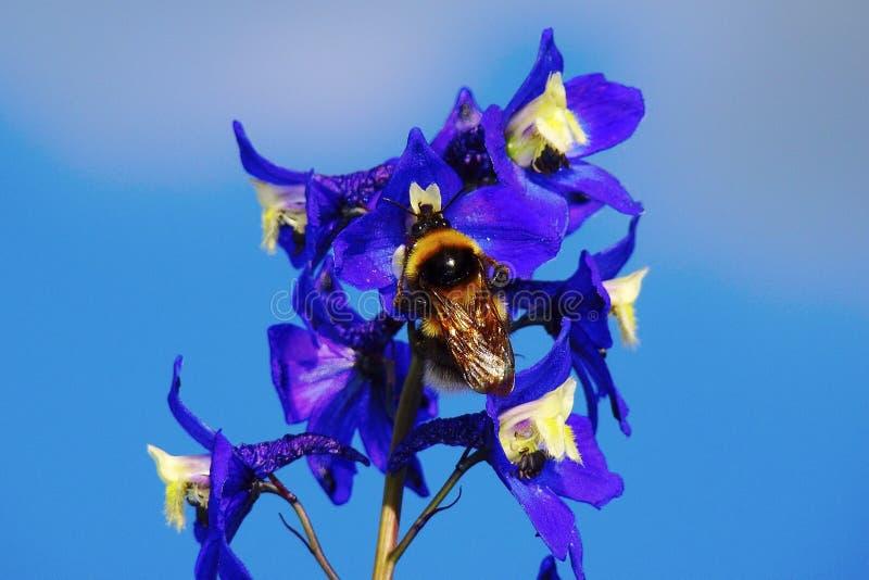 Close-up da abelha em uma flor azul contra um céu sem nuvens azul fotografia de stock