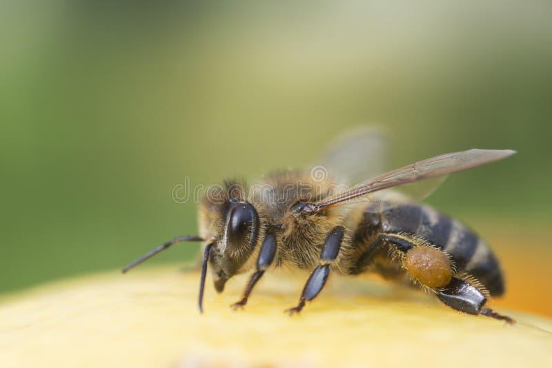 Close-up da abelha no fundo verde fotografia de stock