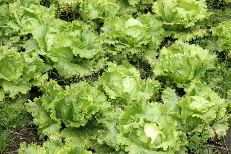 close up da Agricultura-alface fotografia de stock