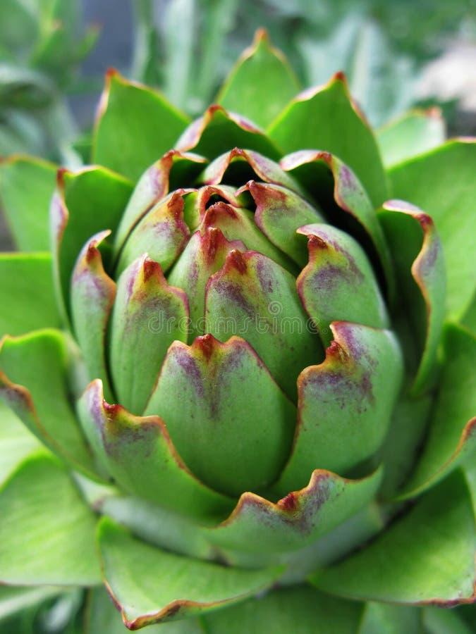 Close up da alcachofra imagem de stock royalty free