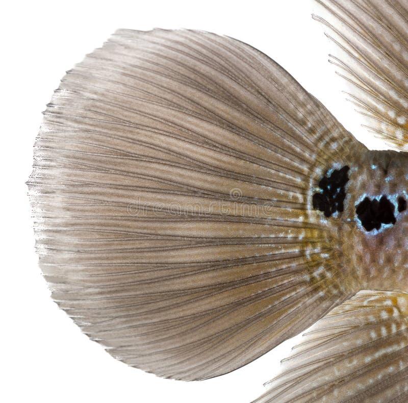 Close-up da aleta caudal de uma legenda viva, cichlidae de Flowerhorn foto de stock royalty free
