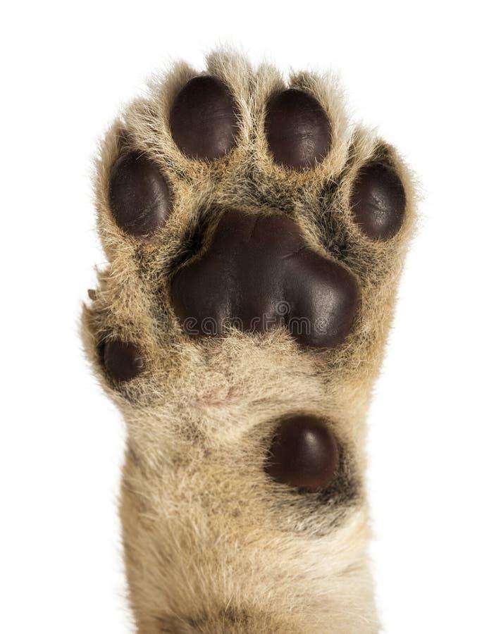 Close-up da almofada de filhote de leão, 4 semanas velha, isolada imagem de stock