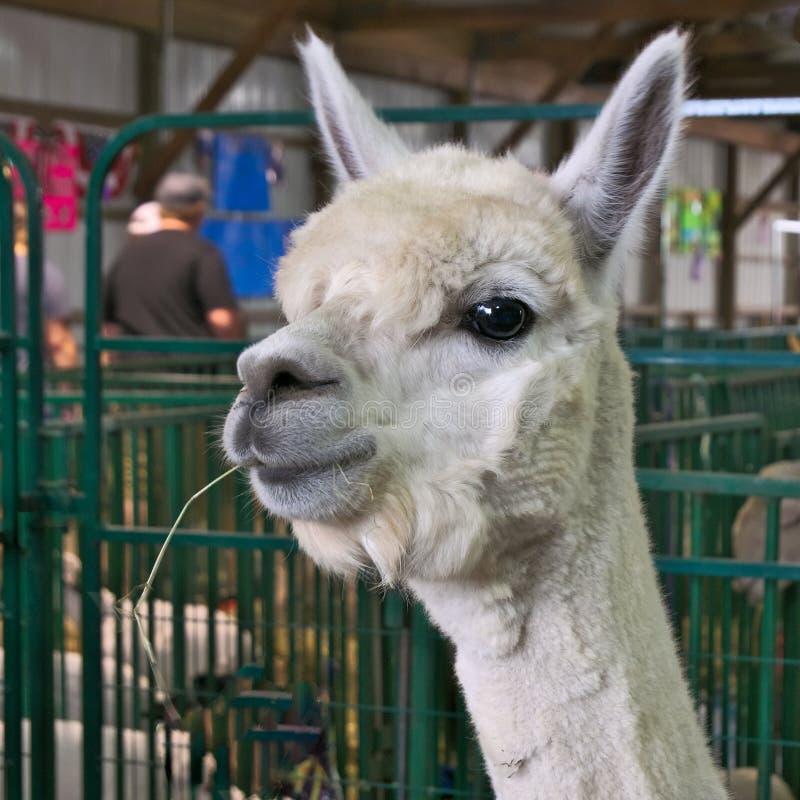 Close up da alpaca branca, pacos do Vicugna, com palha na boca no celeiro imagem de stock