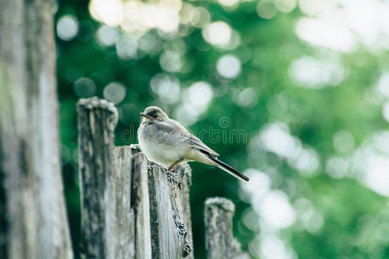 Close up da alvéola de Juv que senta-se em uma cerca entre as árvores imagem de stock