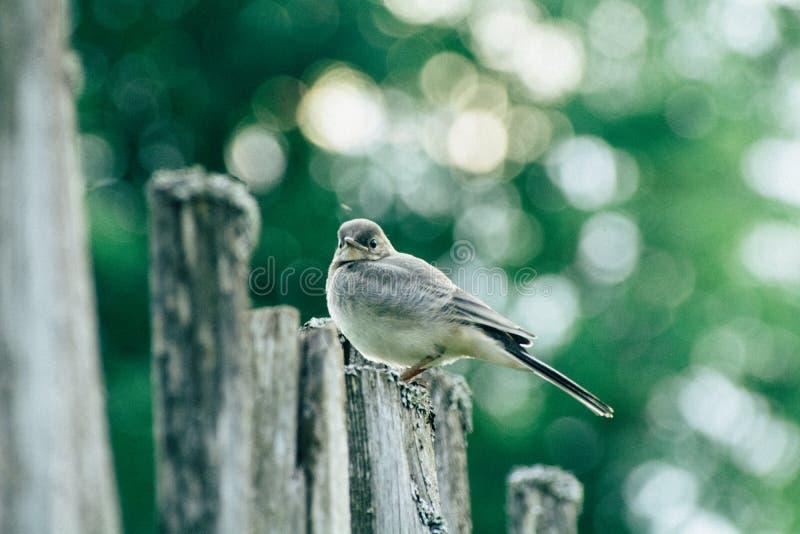 Close up da alvéola de Juv que senta-se em uma cerca entre as árvores fotos de stock royalty free