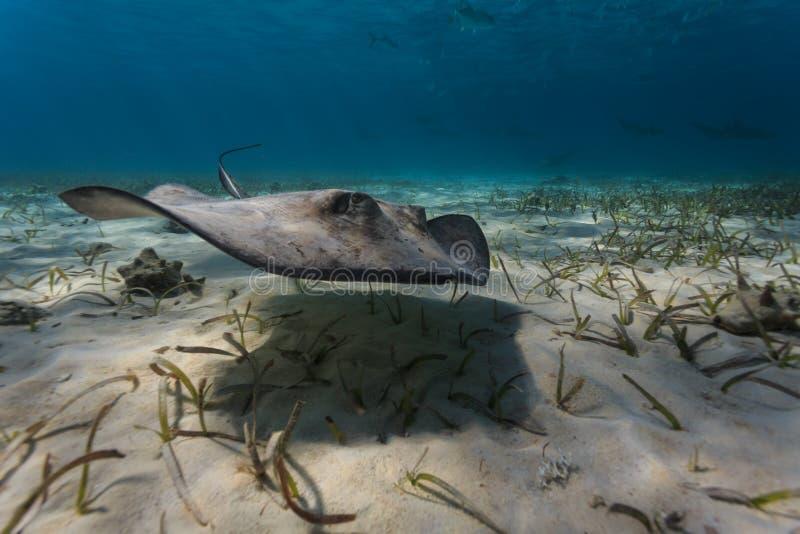 Close-up da arraia-lixa do sul juvenil que navega a cama de mar batendo suas aletas peitorais foto de stock