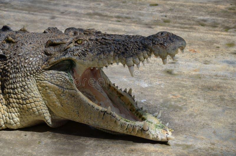 Close-up da cabeça de um crocodilo velho enorme com boca aberta imagens de stock royalty free