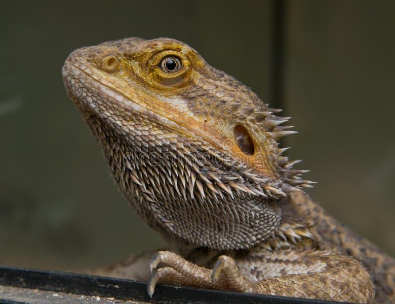 Close up da cabeça do dragão farpado central fotografia de stock