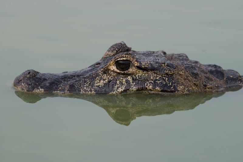 Close-up da cabeça e da reflexão do caimão do yacare imagens de stock royalty free