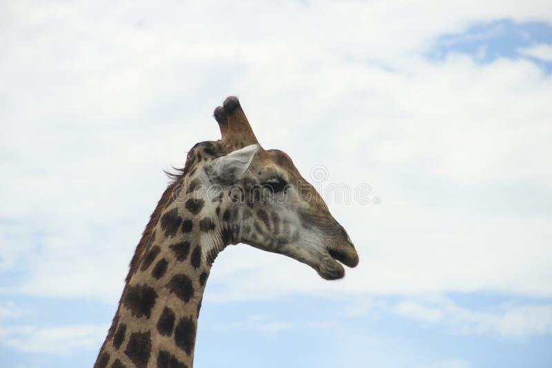 Close up da cabeça e do pescoço do girafa, parque nacional de Kruger, África do Sul foto de stock