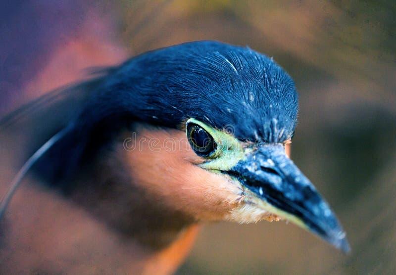 Close up da cabeça da garça-real de noite Foto tropical selvagem do pássaro Garça-real no jardim zoológico Garça-real de Filipina fotos de stock royalty free