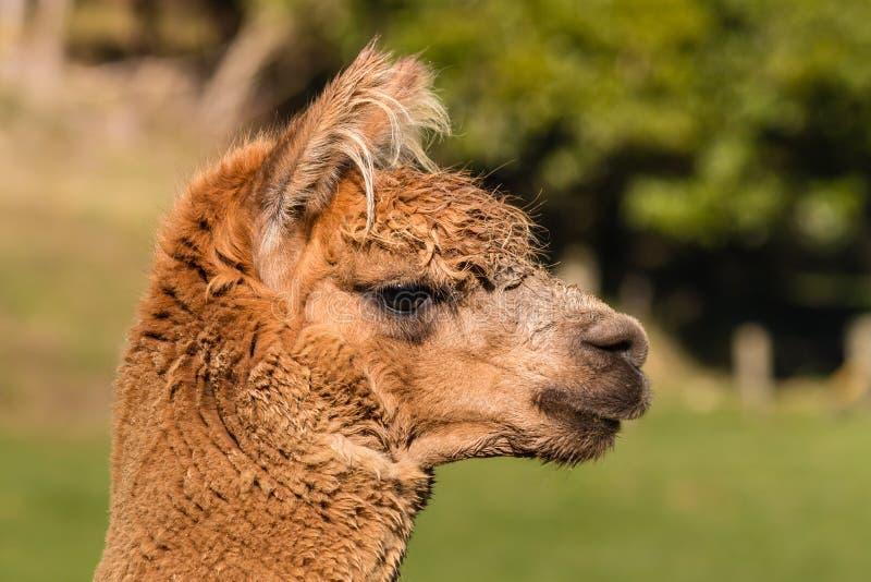 Close up da cabeça nova da alpaca fotografia de stock royalty free