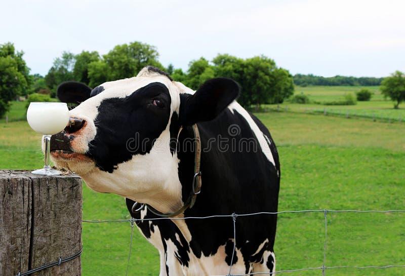 Close up da cabeça da vaca de Holstein que cheira um vidro de vinho completo do leite no cargo da cerca fotografia de stock royalty free