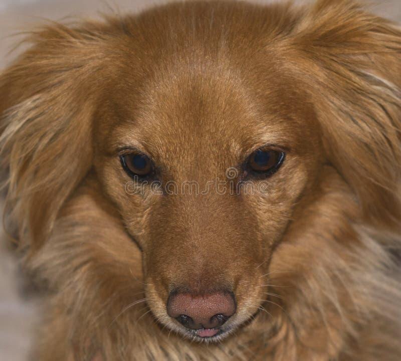 Close up da cara de um cão vermelho pequeno fotos de stock royalty free