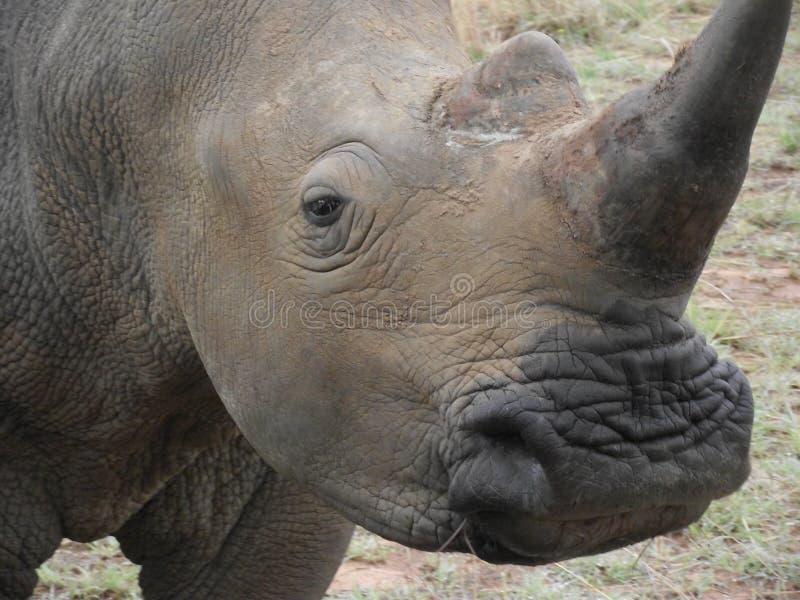 Close-up da cara de um rinoceronte branco imagens de stock