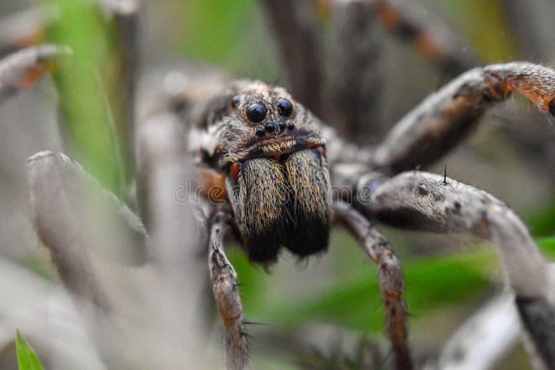Close up da cara de vista assustador de uma aranha de lobo Hogna Radiat fotografia de stock royalty free