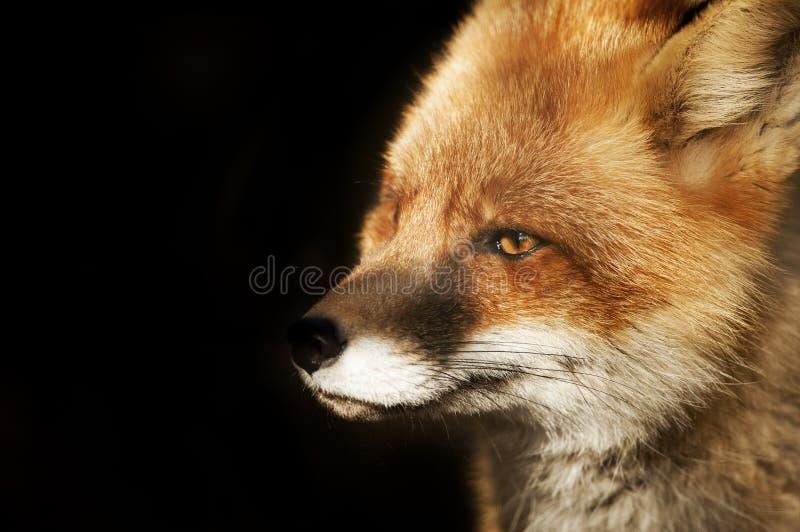 Close up da cara do Fox no preto fotografia de stock