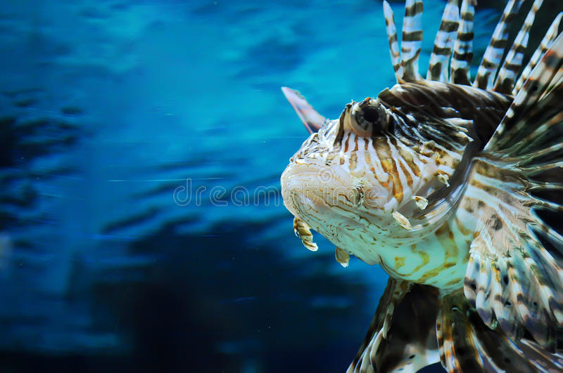 Close up da cara do lionfish imagens de stock royalty free