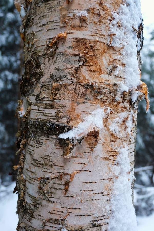 Close-up da casca de árvore do vidoeiro na floresta do inverno fotografia de stock