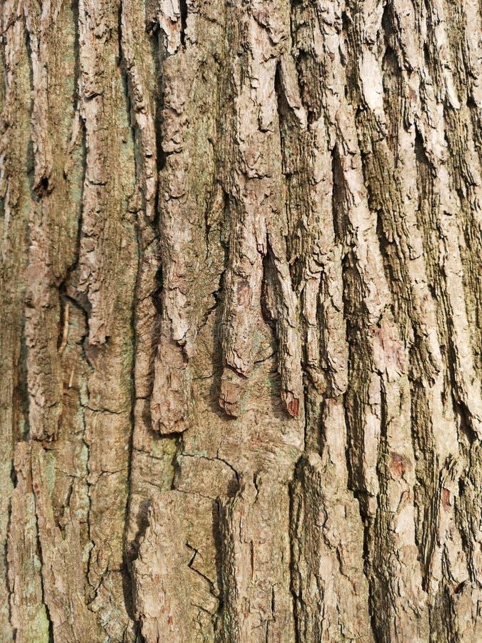 Close-up da casca de um carvalho fotografia de stock royalty free
