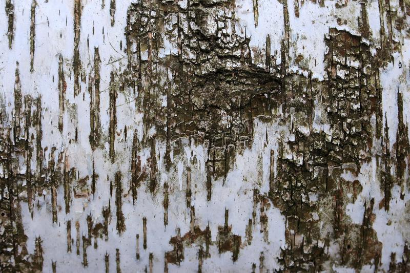 Close up da casca de vidoeiro Textura de madeira Fundo abstrato de madeira Superfície do vidoeiro foto de stock royalty free