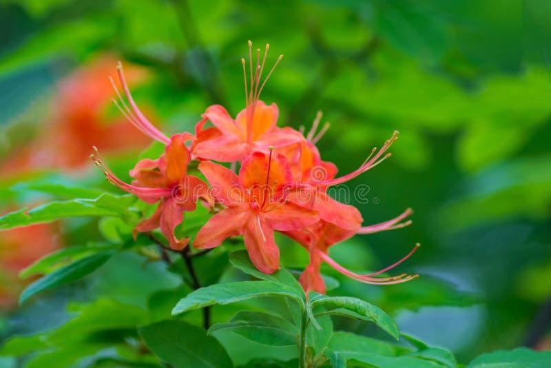Close up da chama Azalea Flowers fotos de stock