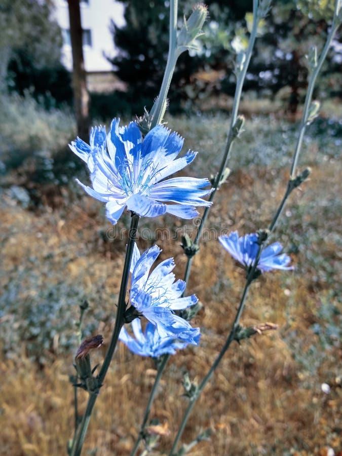 Close-up da chicória das flores foto de stock