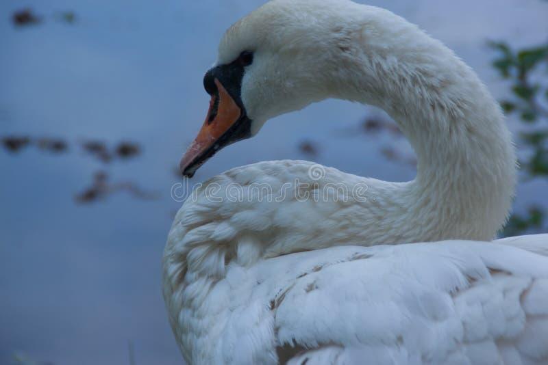 Close up da cisne imagens de stock